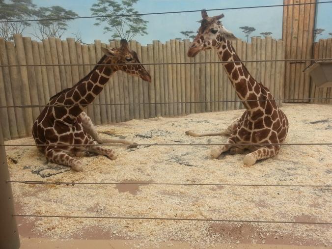 Brookfield zoo, Giraffe, free zoo days