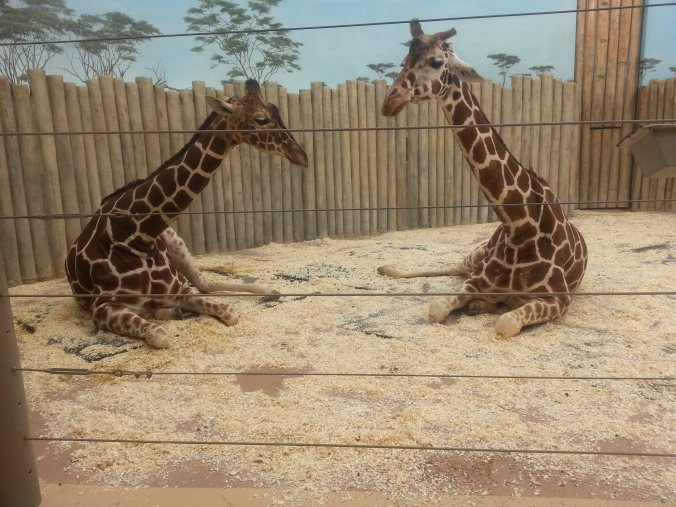 Brookfield zoo, Giraffe, free zoo days